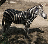 oimage of zebra